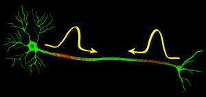 Two nerve signal passing each other