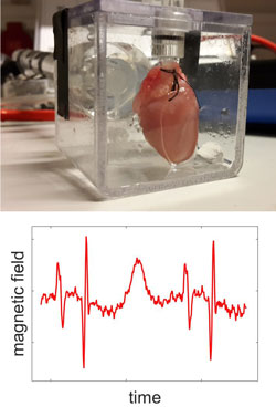 Guinea pig heart and magnetic field from the hearth over time