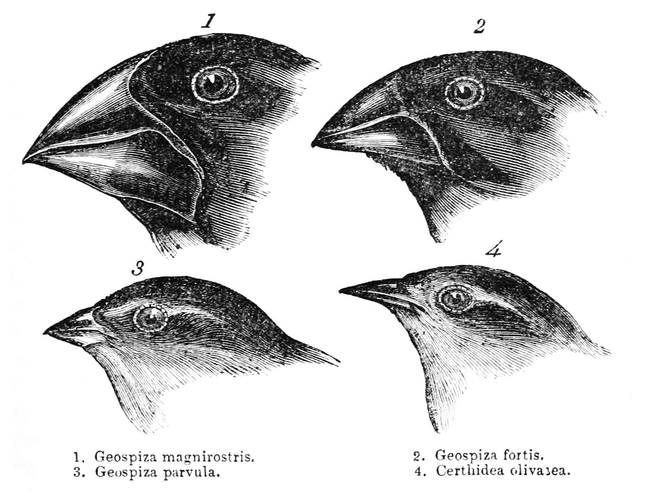 Charles Darwin Theory Of Evolution Finches his theory of evolution